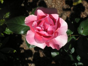 Carmel CA Bed and Breakfast Rose