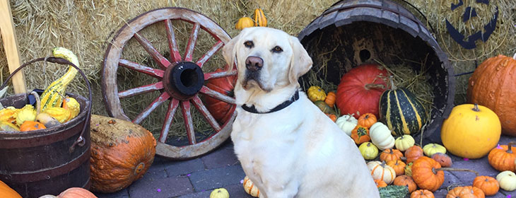 Yellow lab by basket of pumpkins