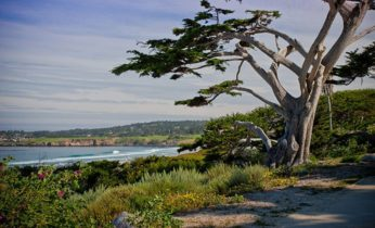 Tree at Carmel Beach