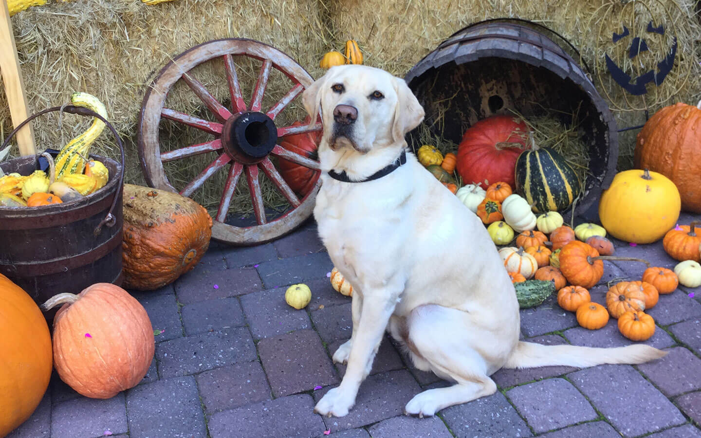 Yellow lab sitting by buckets of pumpkins