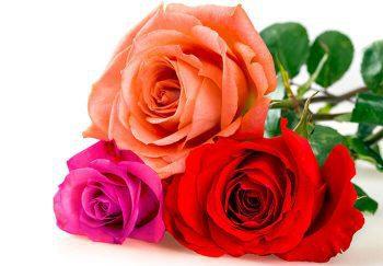 Fresh, multi-colored roses
