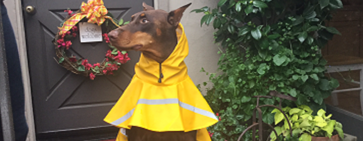 Large dog wearing a yellow raincoat