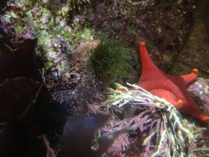 Starfish at Monterey Bay Aquarium